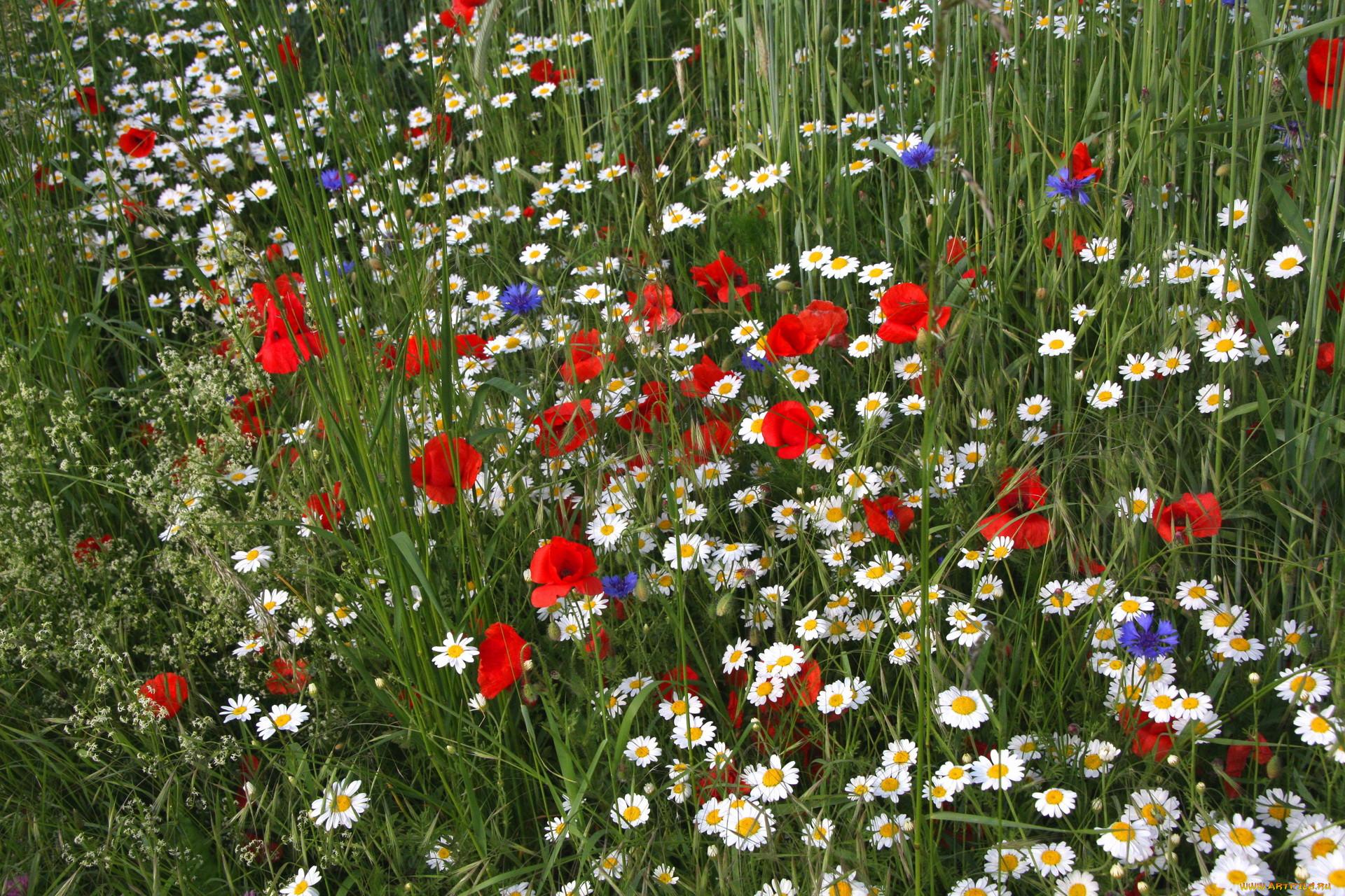 Фото рисунок полевые цветочки жука квартире
